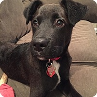 Adopt A Pet :: Angelo - Broomfield, CO