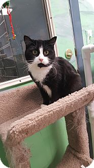 Domestic Shorthair Cat for adoption in Cody, Wyoming - Eggo