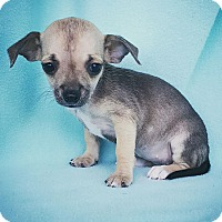 Adopt A Pet :: Cate - Fredericksburg, TX