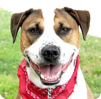 Boxer Mix Dog for adoption in Livonia, Michigan - Brooke