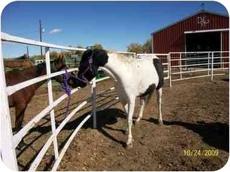 Paint/Pinto Mix for adoption in Pueblo, Colorado - Whisper