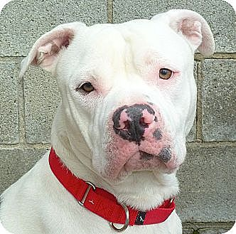 Pit Bull Terrier Mix Dog for adoption in Carmel, New York - Ozzie