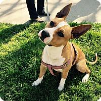 Adopt A Pet :: DASH - Redondo Beach, CA