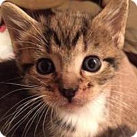Adopt A Pet :: Scooby - Reston, VA
