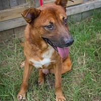 German Shepherd Dog Mix Dog for adoption in Jackson, Mississippi - King