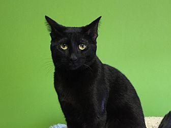 Domestic Shorthair Cat for adoption in Topeka, Kansas - Wispy