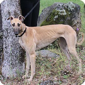 Greyhound Dog for adoption in Walnut Creek, California - Quix