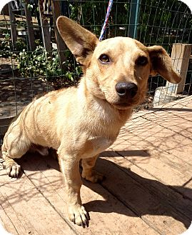 Dachshund/Rhodesian Ridgeback Mix Dog for adoption in Santa Ana, California - Fender