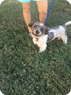 Terrier (Unknown Type, Small)/Scottie, Scottish Terrier Mix Dog for adoption in Rocky Hill, Connecticut - Easy E