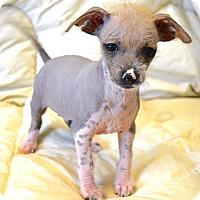 Adopt A Pet :: *Rum - PENDING - Westport, CT