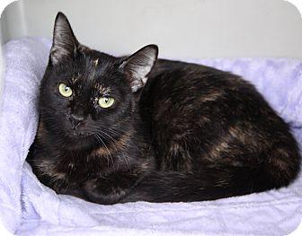 Domestic Shorthair Cat for adoption in Newport Beach, California - FERN