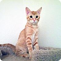 Adopt A Pet :: Peanut - Arlington/Ft Worth, TX