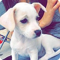 Adopt A Pet :: Sansa - San Antonio, TX