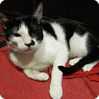 Domestic Shorthair Kitten for adoption in The Colony, Texas - Tony Macaroni
