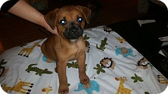 Boxer Mix Puppy for adoption in Hainesville, Illinois - Sammi