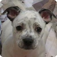 Adopt A Pet :: Clyde!  ADORABLE Puppy - St Petersburg, FL