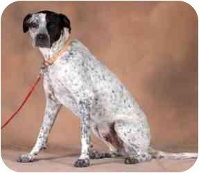 Bulldog/Blue Heeler Mix Dog for adoption in Rio Rancho, New Mexico - Freckles