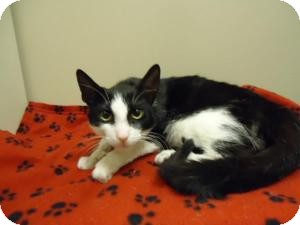 Domestic Shorthair Cat for adoption in Cleveland, Ohio - Maow