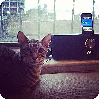Domestic Shorthair Cat for adoption in New York, New York - Vuma