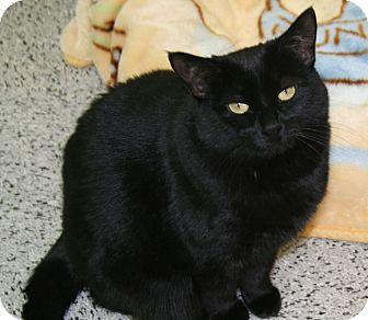 Domestic Shorthair Cat for adoption in Edmonton, Alberta - Whisper