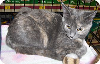Domestic Shorthair Cat for adoption in Richmond, Virginia - Kimme