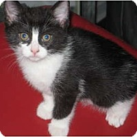 Adopt A Pet :: Romeo - Jeffersonville, IN