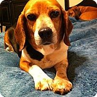 Adopt A Pet :: Trixie - Alexandria, VA