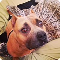 Adopt A Pet :: Morpheus~ American Bully - Phoenix, AZ