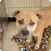 Bulldog Mix Dog for adoption in Las Vegas, Nevada - Lucy Ann