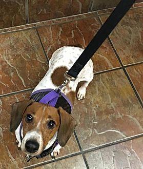 Dachshund Dog for adoption in Dallas, Texas - Duke