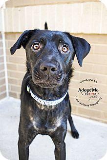 """Labrador Retriever Mix Dog for adoption in Charlotte, North Carolina - Carowinds """"Cara"""""""
