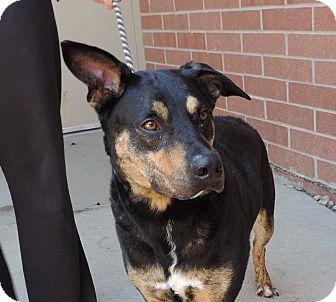 German Shepherd Dog/Labrador Retriever Mix Dog for adoption in Sioux City, Iowa - CAPTAIN