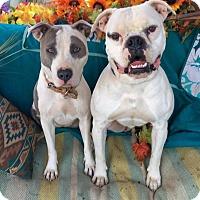 American Bulldog Dog for adoption in Toluca Lake, California - Ben