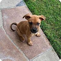 Adopt A Pet :: Star - Allen, TX