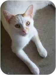 Domestic Shorthair Cat for adoption in Milwaukee, Wisconsin - Grange