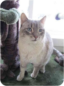 Domestic Shorthair Cat for adoption in Pascoag, Rhode Island - Shiloh