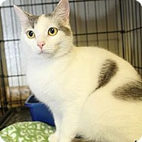 Domestic Shorthair Cat for adoption in Winston-Salem, North Carolina - Patches