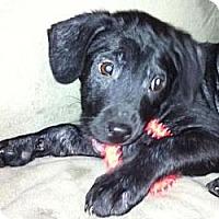 Adopt A Pet :: Baby Midnight - Marlton, NJ