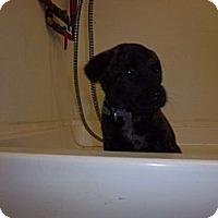 Adopt A Pet :: Tux - Windsor, MO