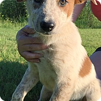 Adopt A Pet :: Chester - Somers, CT