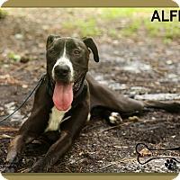 Labrador Retriever/Great Dane Mix Dog for adoption in Sarasota, Florida - Alfie