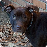 Labrador Retriever Mix Puppy for adoption in Colmar, Pennsylvania - Gabe