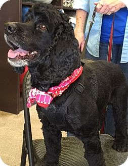 Cocker Spaniel Dog for adoption in Sacramento, California - Moe-ADOPTED!!