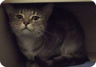 Domestic Shorthair Cat for adoption in Cheboygan, Michigan - Jewell
