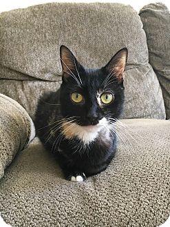 Domestic Shorthair Kitten for adoption in Brooklyn, New York - Michelle