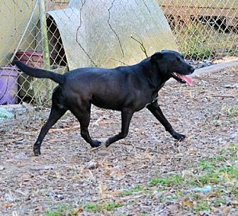Labrador Retriever Dog for adoption in Rock Hill, South Carolina - Margo