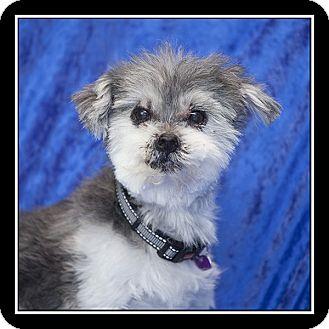 Shih Tzu/Poodle (Miniature) Mix Dog for adoption in San Diego, California - Grayson