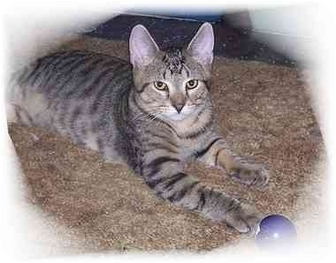 Domestic Shorthair Cat for adoption in Montgomery, Illinois - Chessie