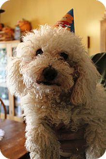 Bichon Frise Dog for adoption in Sinking Spring, Pennsylvania - Jaxon