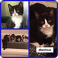 Adopt A Pet :: Maximus - Miami, FL